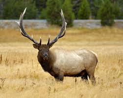 elk-native-american-zodiac