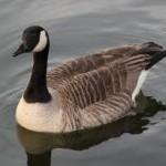 goose-native-american-zodiac
