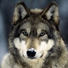 wolf-native-american-zodiac