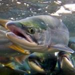 Salmon – Native American Astrology