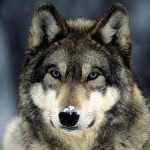 Wolf – Native American Astrology